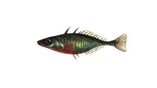 Stickleback Fish